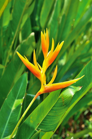 Closeup of beautiful Heliconia flower in orange color blooming with blurred green leaves