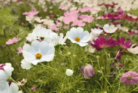 Cosmos flowers  in the garden,vintage image Standard-Bild