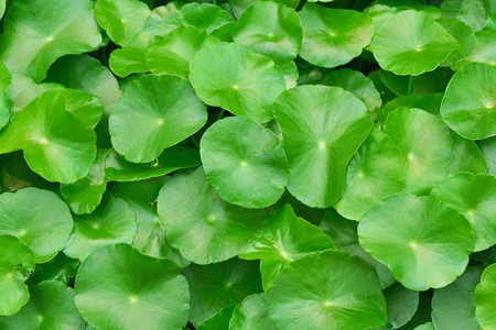 Green water hyacinth leaves growing