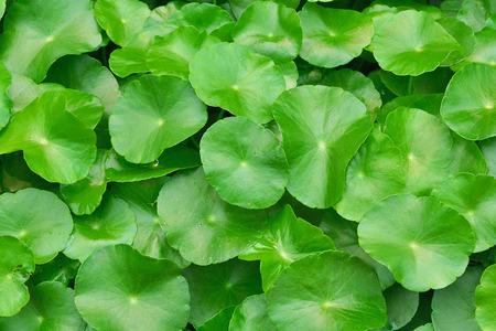 water hyacinth: Green water hyacinth leaves growing