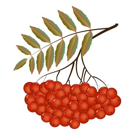 Twigs of Rowan in the autumn. Vector illustration