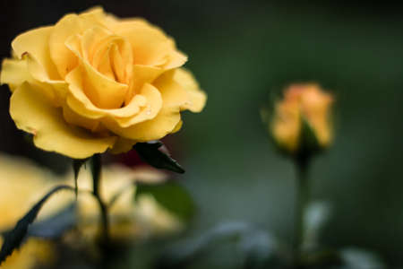 two roses in opposition - in focus and out of focus