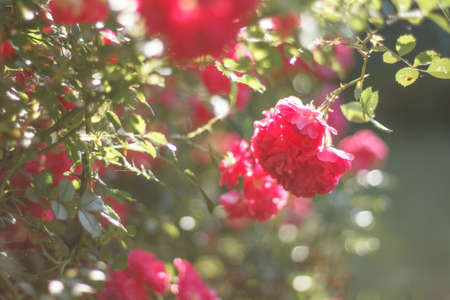 Rose flower bush in garden   Very gentle and romantic background and mood