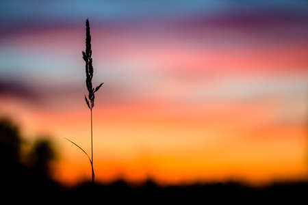 lonely blade of grass in front of sunset  The concept of loneliness, abandonment, parting, separation