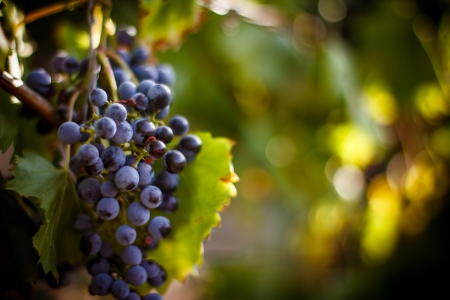 wine stocks: Large bunche of red wine grapes hang from a vine, warm  Ripe grapes with green leaves  Nature background with Vineyard   Wine concept Stock Photo