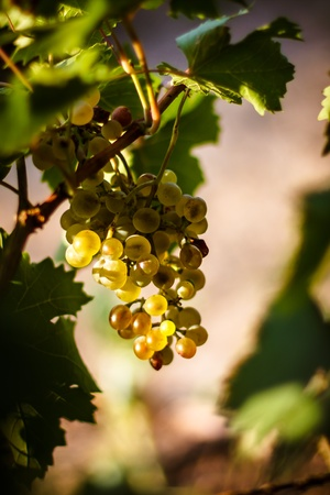 Large bunche of white wine grapes hang from a vine, warm  Ripe grapes with green leaves  Nature background with Vineyard   Wine concept