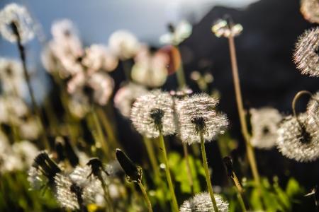 Blooming dandelion. Beautifull summer background of dandelions meadow. Stock Photo - 20451098