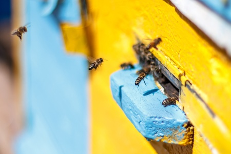 Honey bees before the hive entrance. Honey bees swarming and flying around their beehive Stock Photo