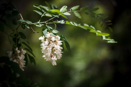Branch of white acacia flowers on green background  Beautiful spring wallpaper of acacia tree in blossom Stock Photo
