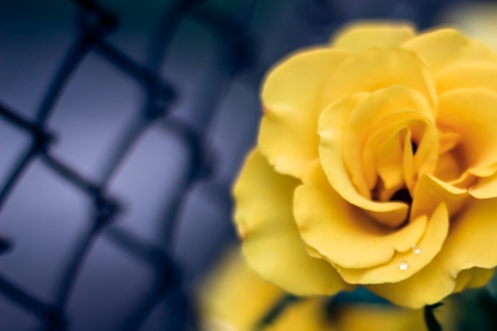 isolated full-blown yellow rose on dark grid background. Stock Photo