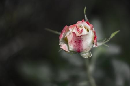 isolated delicate white-red rosebud on dark background.