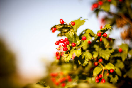 Red Viburnum berries in the tree. Beautiful warm autumn background