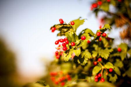 Red Viburnum berries in the tree. Beautiful warm autumn background