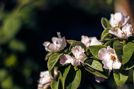 Flowers of the quince blossoms on a spring day. Beautiful spring wallpaper of tree in blossom Stock Photo