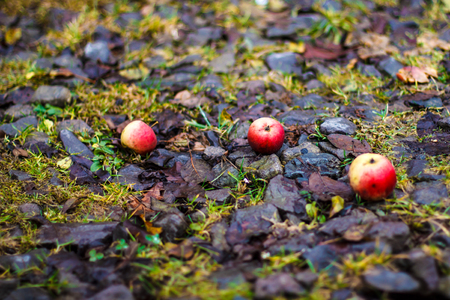 three fallen red apples on leaf litter. Autumn background.