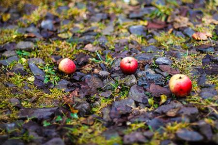 three fallen red apples on leaf litter. Autumn background.