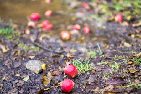 three fallen red apples on leaf litter  Autumn background