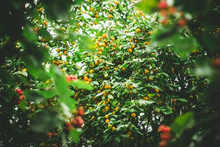 Delicious yellow cherry-plum on the tree   autumn background