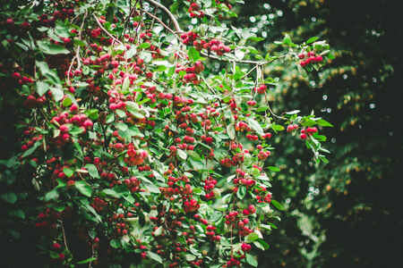 hawthorn tree with many fresh red berries in the green, autumnal season, changing of nature,