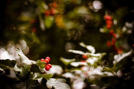 Red Viburnum berries in the tree   Abstract autumn background