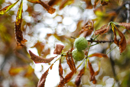 Horse chestnuts with leaves on tree