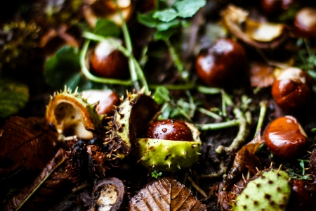 horse chestnuts with drops of water lying on the ground