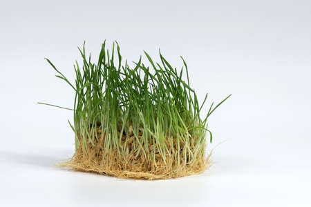 Cat grass isolated on a white background. Useful herb for domestic cats.