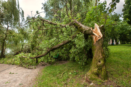 a fallen tree after hurricane Stock Photo