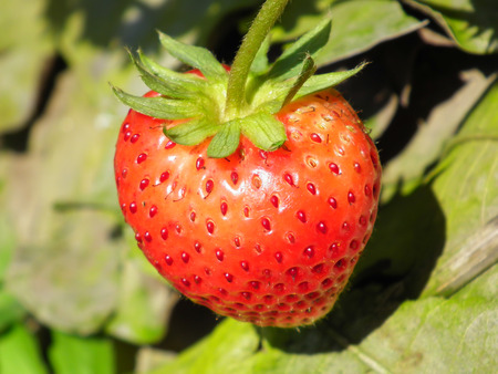 edibles: Strawberry in farm