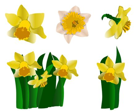 Collection of yellow daffodils isolated on white background. Spring floral set. Vector illustration.