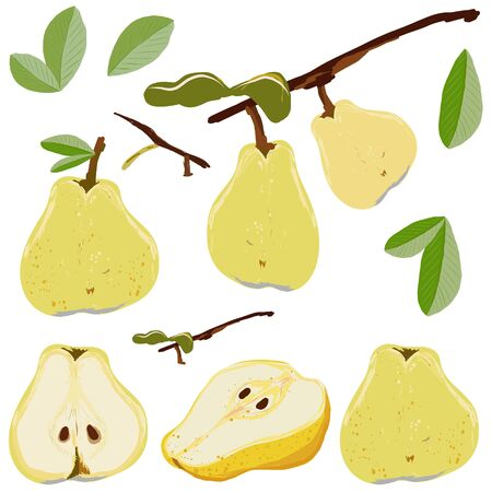 Pear fruit set whole and cut isolated on white background vector illustration. Set for design, banner, menu, poster, apparel, cards.