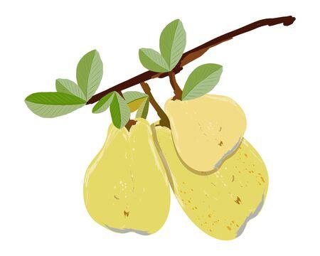 Ripe pear branch isolated on white background vector illustration. Summer fruit set for design, banner, menu, poster, apparel, card.