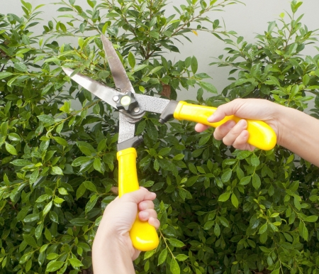 Hands are cut bush clippers Stock Photo