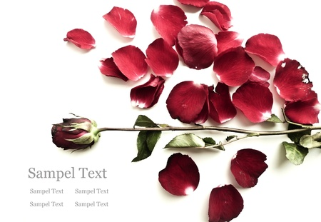 Withered rose with falling petals isolated on white.