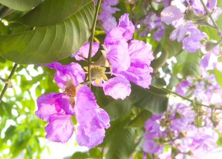 Kind of queen crape myrtle (tropical violet flower) Stock Photo - 17815394