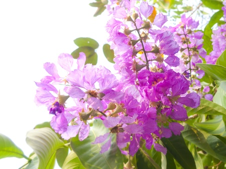 Kind of queen crape myrtle (tropical violet flower)