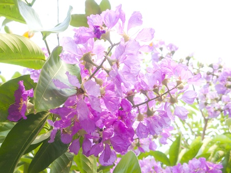 Kind of queen crape myrtle (tropical pink flower) Stock Photo - 17815412