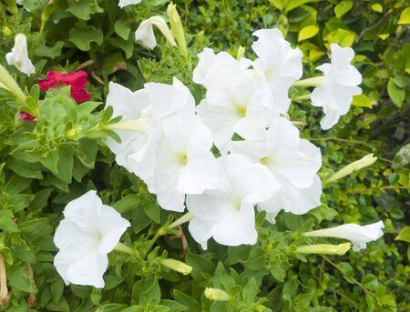 white petunia flower plants in the garden