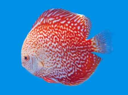 Spotted orange discus, freshwater fish native to the Amazon River in blue background.