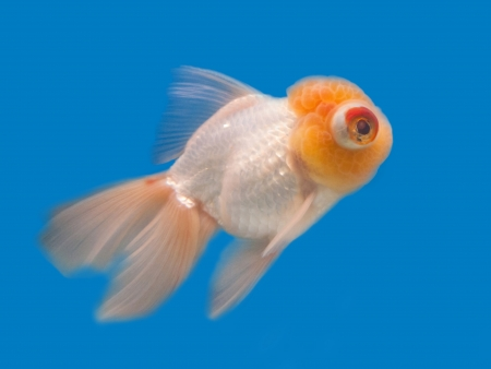 ranchu: Goldfish in a glass cabinet  Stock Photo