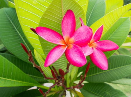 Pink frangipani flowers with leaves in background