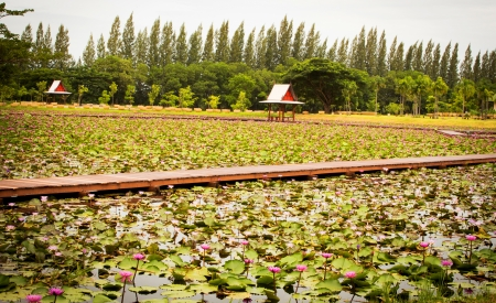 walkway path over Lotus pond Stock Photo