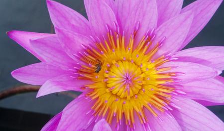 Pink Lotus flower beautiful lotus with bee. Stock Photo