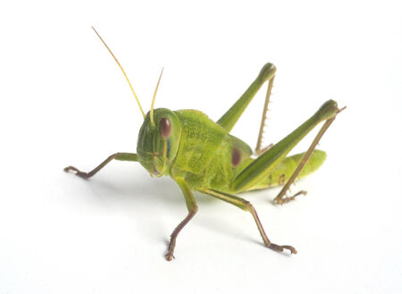 grasshopper: Grasshopper isolated on white background.