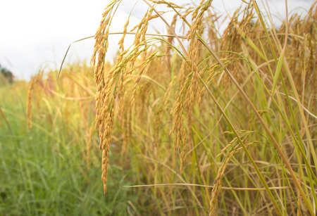 Fall mature rice, on rice field.