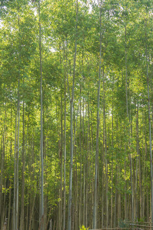 Eucalyptus forest plantation in Thailand, plants for paper industry. Stock Photo