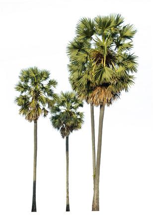 Palm tree isolated on white Stock Photo