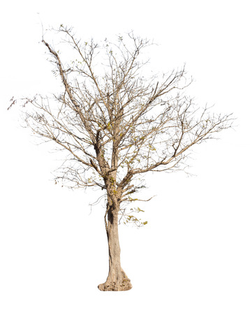 Dry tree isolated on white background.