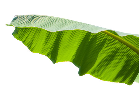 Fresh Banana Leaf Isolated with clipping path Banco de Imagens