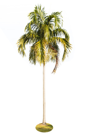acuminate: palm tree isolated on white background with clipping path